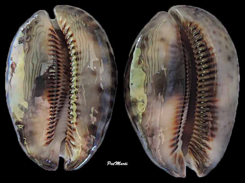 Mauritia maculifera scindata - Lorenz, 2002 Cyp-ma11