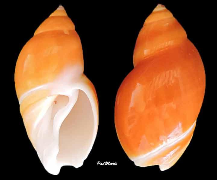 Eburna lienardii - (Bernardi, 1859) Eburna10