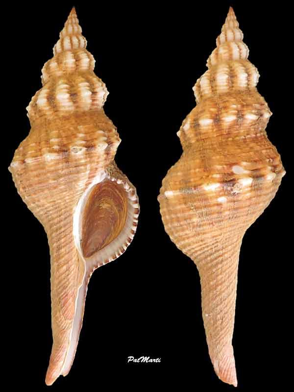 Fusinus ansatus - (Gmelin, 1791) Fusinu10