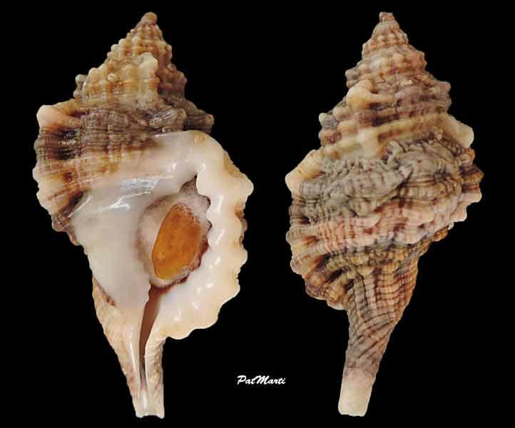 Cymatiidae Gutturnium muricinum - (Röding, 1798) Guttur10