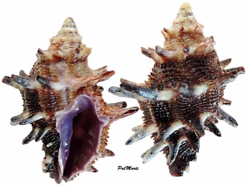 Morula spinosa - (H. Adams & A. Adams, 1853) Habrom10