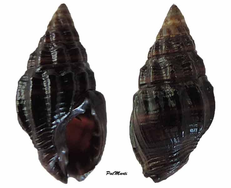 Nassarius niger - (Hombron & Jacquinot, 1848) Hebra-10