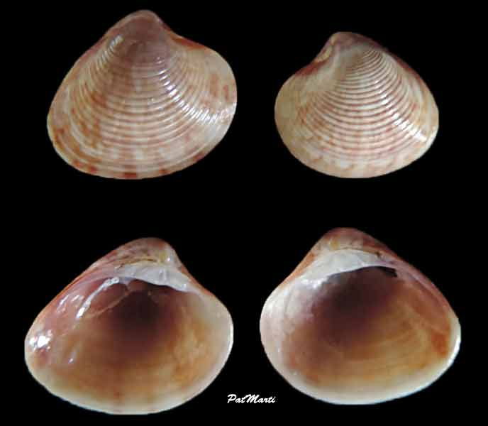 Lioconcha philippinarum - (Hanley, 1844)  Liocon12