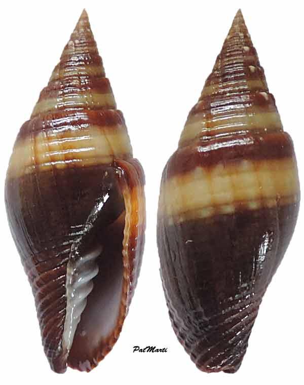 Strigatella aurantia - (Gmelin, 1791)  Mitra-14
