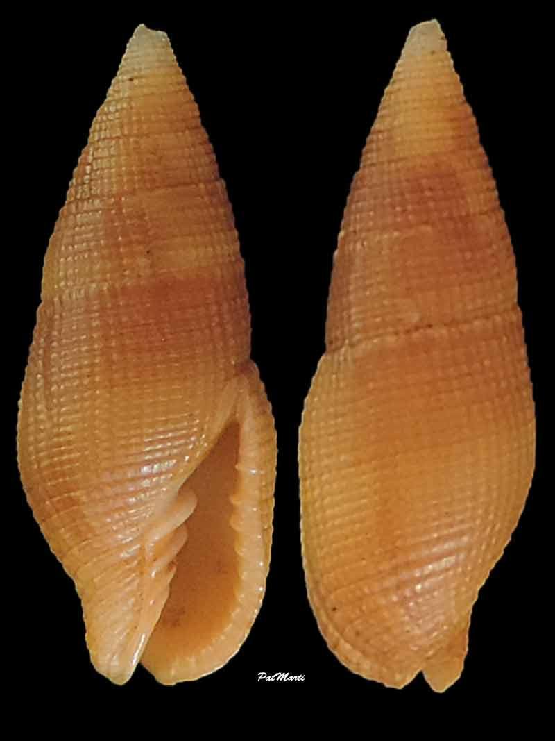 Nebularia pellisserpentis - (Reeve, 1844)  Mitra-16