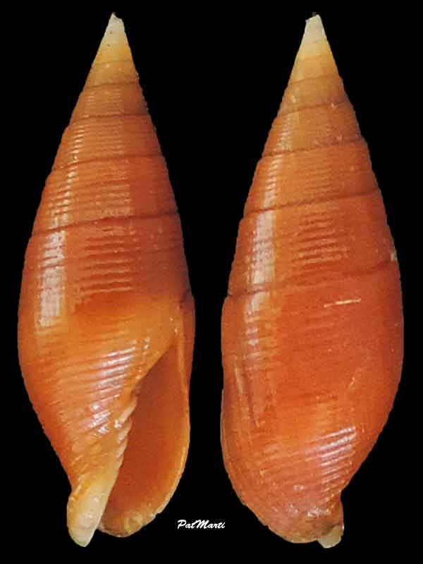 Strigatella testacea - (Broderip, 1836)  Mitra-18