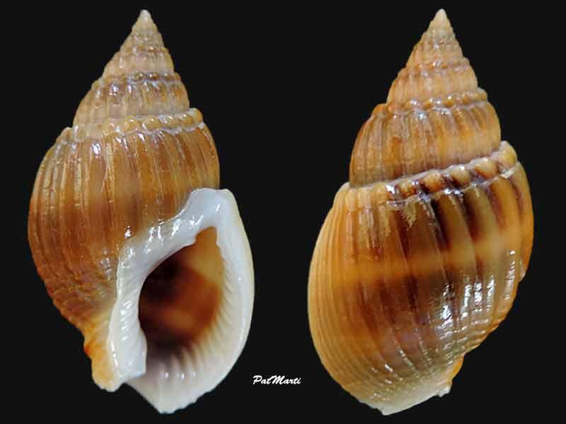 Nassarius siquijorensis - (A. Adams, 1852)  Nassar11