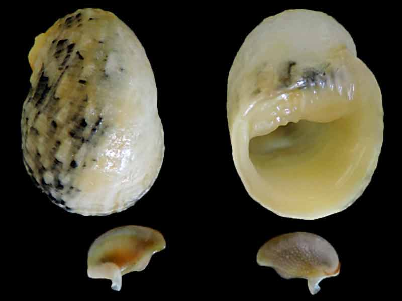 Nerita histrio - Linnaeus, 1758 Nerita11