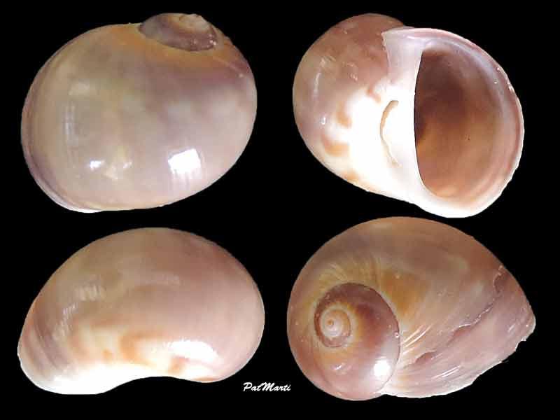 Notocochlis cernica - (Jousseaume, 1874) Notoch10