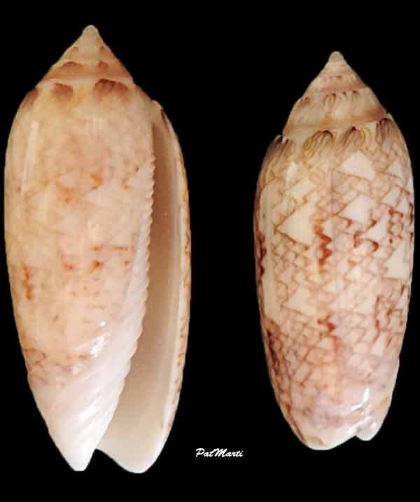 Americoliva circinata jorioi (Petuch, 2013) - Worms = Oliva circinata circinata Marrat, 1871 Oliva-12