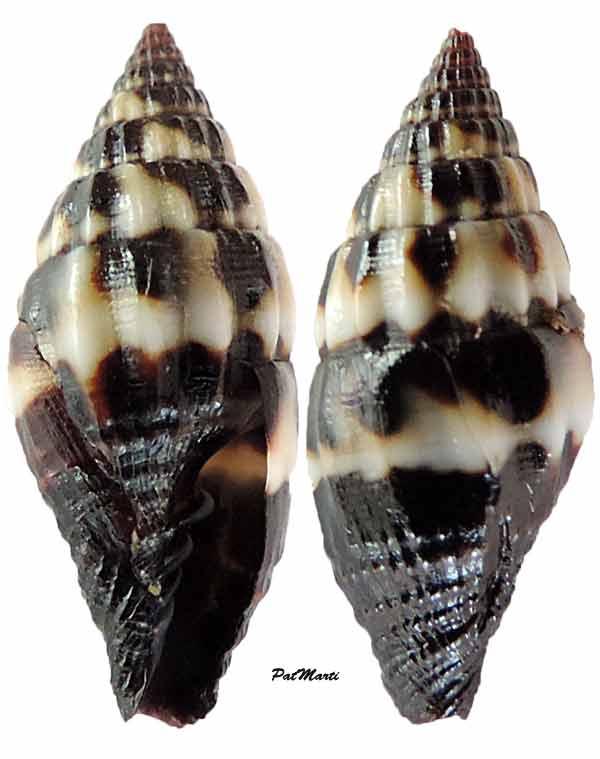 Vexillum thorssoni - Poppe, Guillot de Suduiraut & Tagaro, 2006 Vexill10