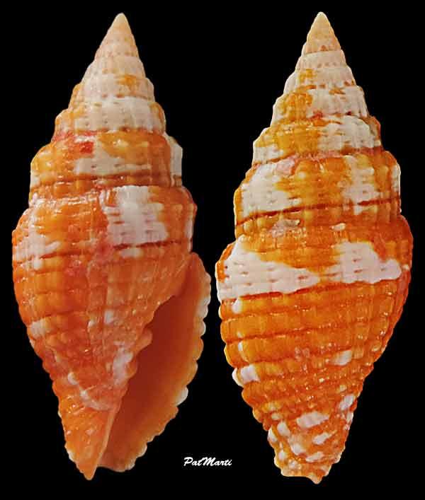 Vexillum crocatum - (Lamarck, 1811) Vexill15