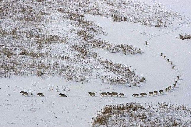 Fotoja e kopesë së ujqërve bën xhiron në rrjetet sociale Largea10