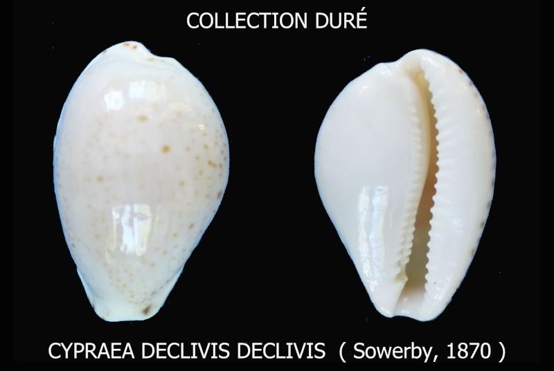 Notocypraea declivis - (G. B. Sowerby II, 1870)  Panora13