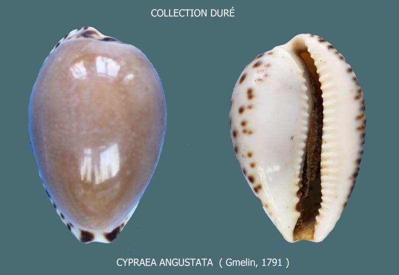 Notocypraea angustata - (Gmelin, 1791) Panora15