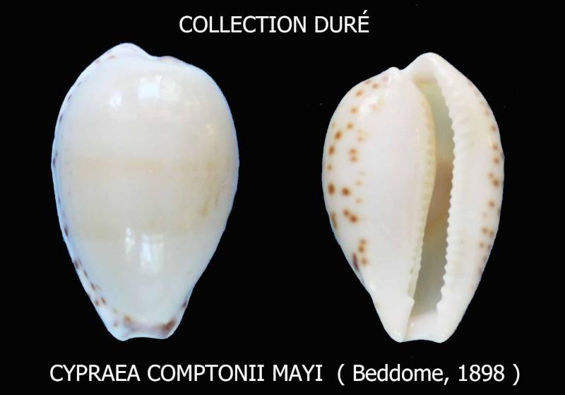 Notocypraea comptonii mayi - (Beddome, 1898) Panora16