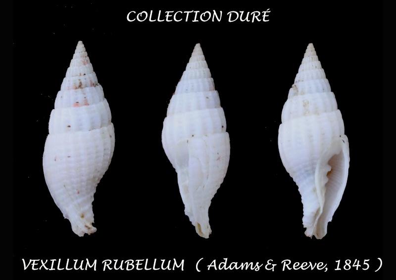 Vexillum rubellum - (A. Adams & Reeve, 1850)  Panora20