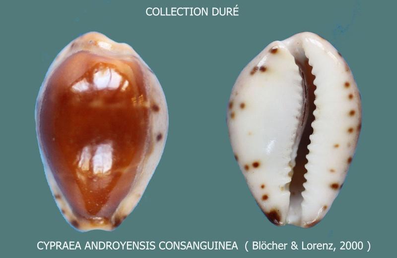 Palmadusta androyensis consanguinea - Blöcher & Lorenz, 2000 Panora25
