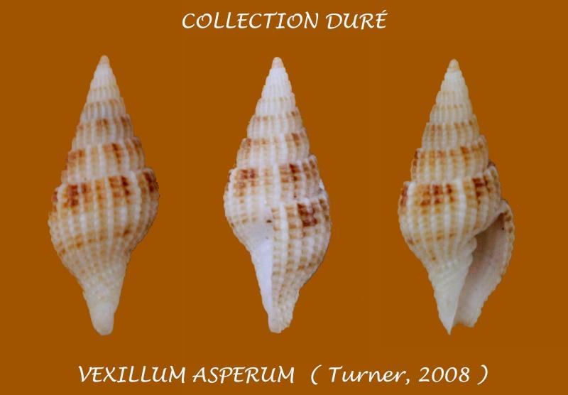Vexillum asperum - H. Turner, 2008 Panora28