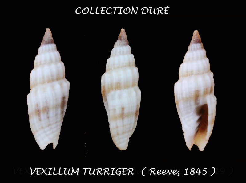 Vexillum turriger - (Reeve, 1845)  Panora34