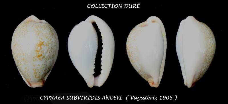 Erronea subviridis anceyi - (Vayssière, 1905) voir Erronea subviridis (Reeve, 1835) Panora35
