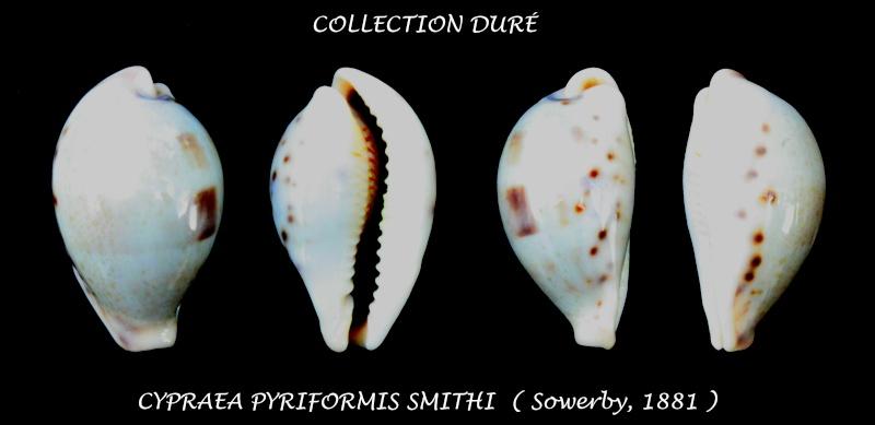 Erronea pyriformis smithi - (Sowerby, 1881) Panora38