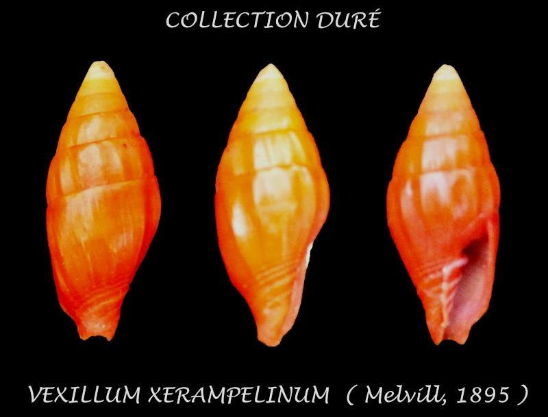 Protoelongata xerampelina - (Melvill, 1895)  Panora44