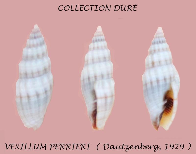 Vexillum perrieri - (Dautzenberg, 1929) Panora46