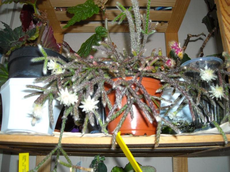 rhipsalis pilocarpa Dscn5110