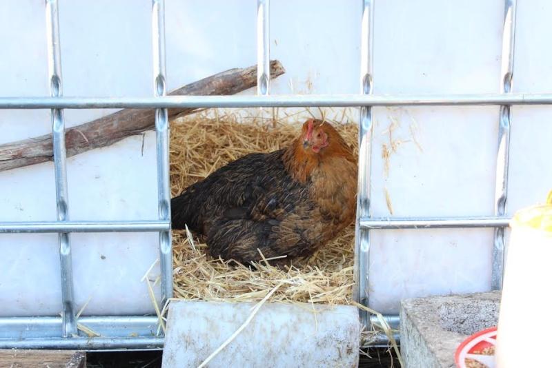 poule - Problème d'œil avec une poule. A210