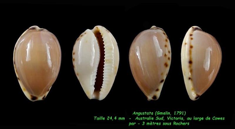 Notocypraea angustata - (Gmelin, 1791) Angust10