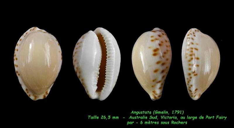 Notocypraea angustata - (Gmelin, 1791) Angust12