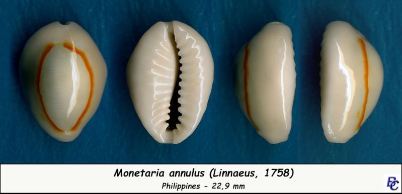 Monetaria annulus annulus  -   (Linnaeus, 1758) Annulu13