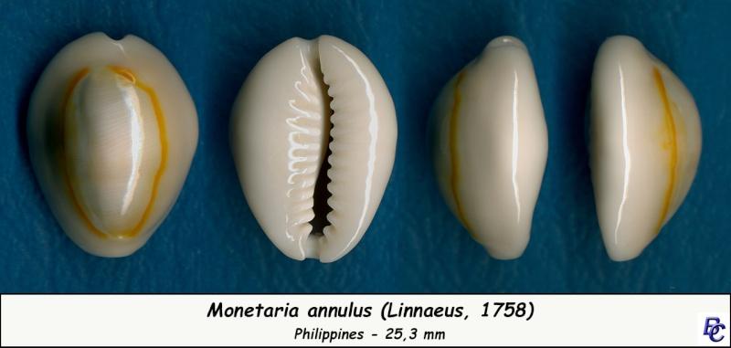 Monetaria annulus annulus  -   (Linnaeus, 1758) Annulu14