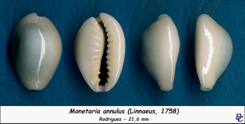 Monetaria annulus annulus  -   (Linnaeus, 1758) Annulu17