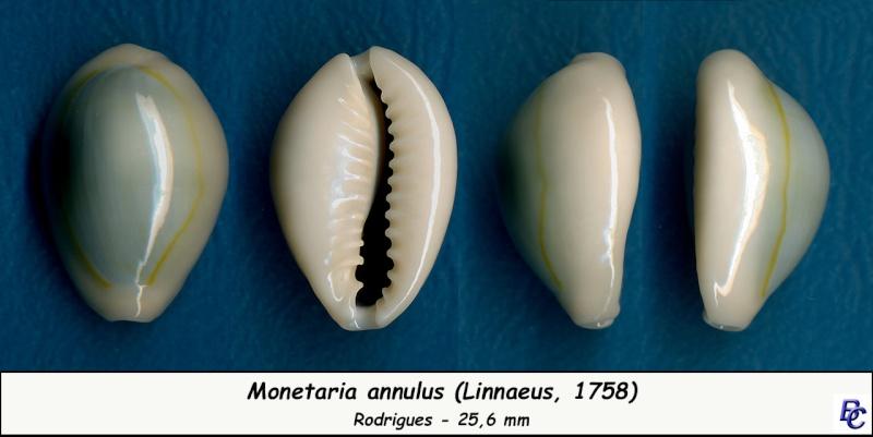 Monetaria annulus annulus  -   (Linnaeus, 1758) Annulu18