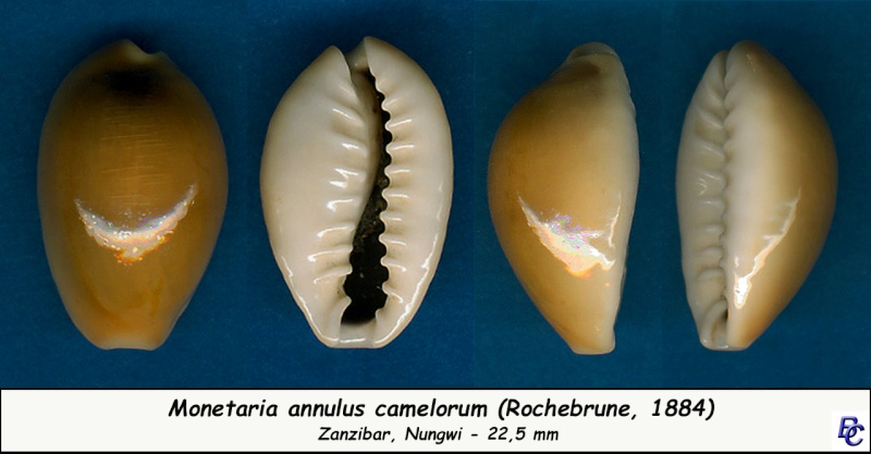 Monetaria annulus annulus  -   (Linnaeus, 1758) Annulu19