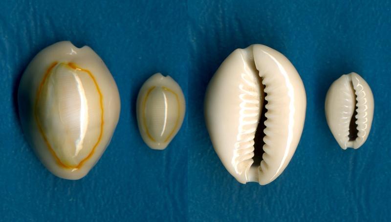 Monetaria annulus annulus  -   (Linnaeus, 1758) Annulu20