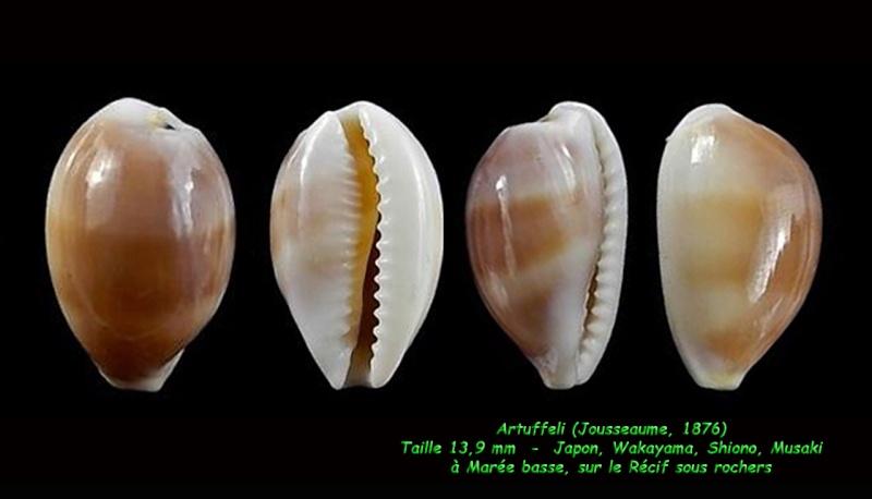 Palmadusta artuffeli - (Jousseaume, 1876) Artuff10