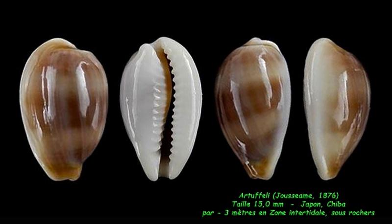 Palmadusta artuffeli - (Jousseaume, 1876) Artuff11