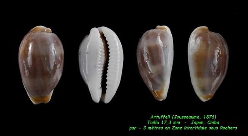Palmadusta artuffeli - (Jousseaume, 1876) Artuff12