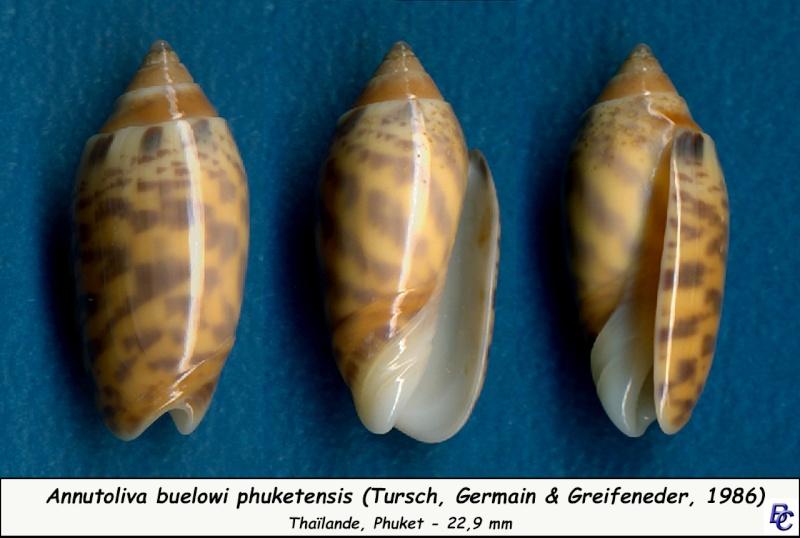 Annulatoliva buelowi phuketensis (Tursch, Germain & Greifeneder, 1986) Buelow11