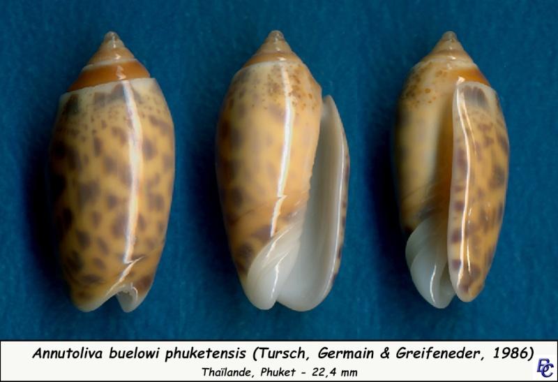 Annulatoliva buelowi phuketensis (Tursch, Germain & Greifeneder, 1986) Buelow12
