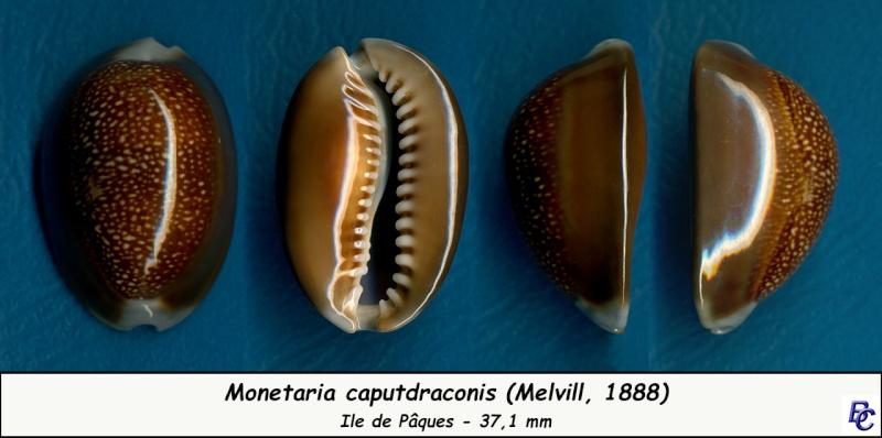 Monetaria caputdraconis - (Melvill, 1888) Caputd10