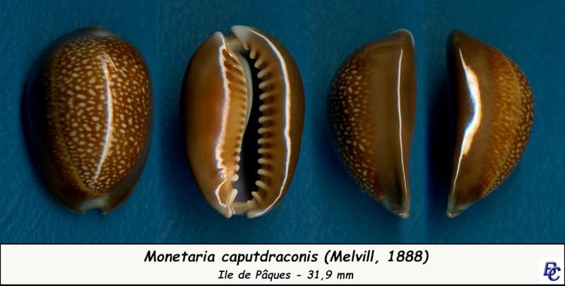 Monetaria caputdraconis - (Melvill, 1888) Caputd11