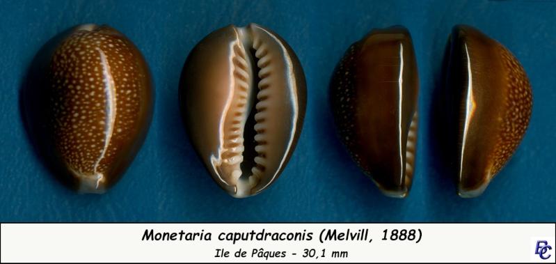 Monetaria caputdraconis - (Melvill, 1888) Caputd12