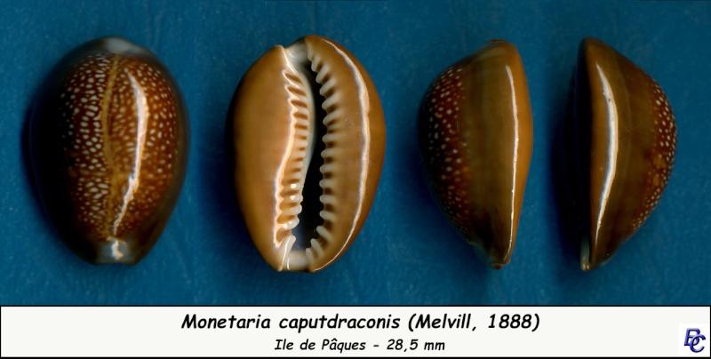 Monetaria caputdraconis - (Melvill, 1888) Caputd13