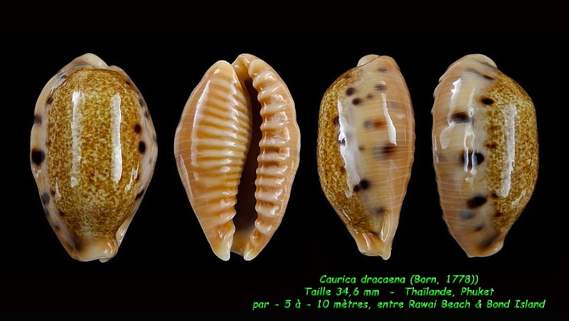 Erronea caurica dracaena - (Born, 1778) Cauric12