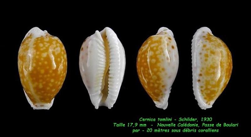 Naria cernica tomlini (Schilder, 1930) - Page 2 Cernic17