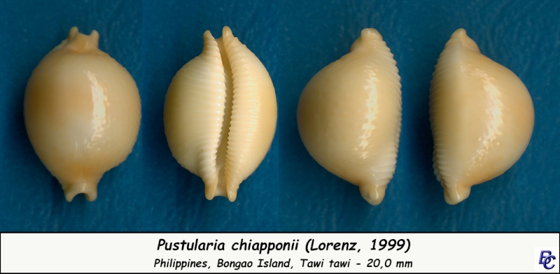 Pustularia chiapponii - Lorenz, 1999 Chiapp12